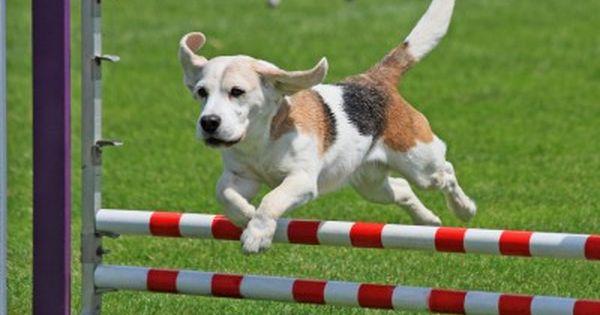 ハードルを楽に飛び越える犬